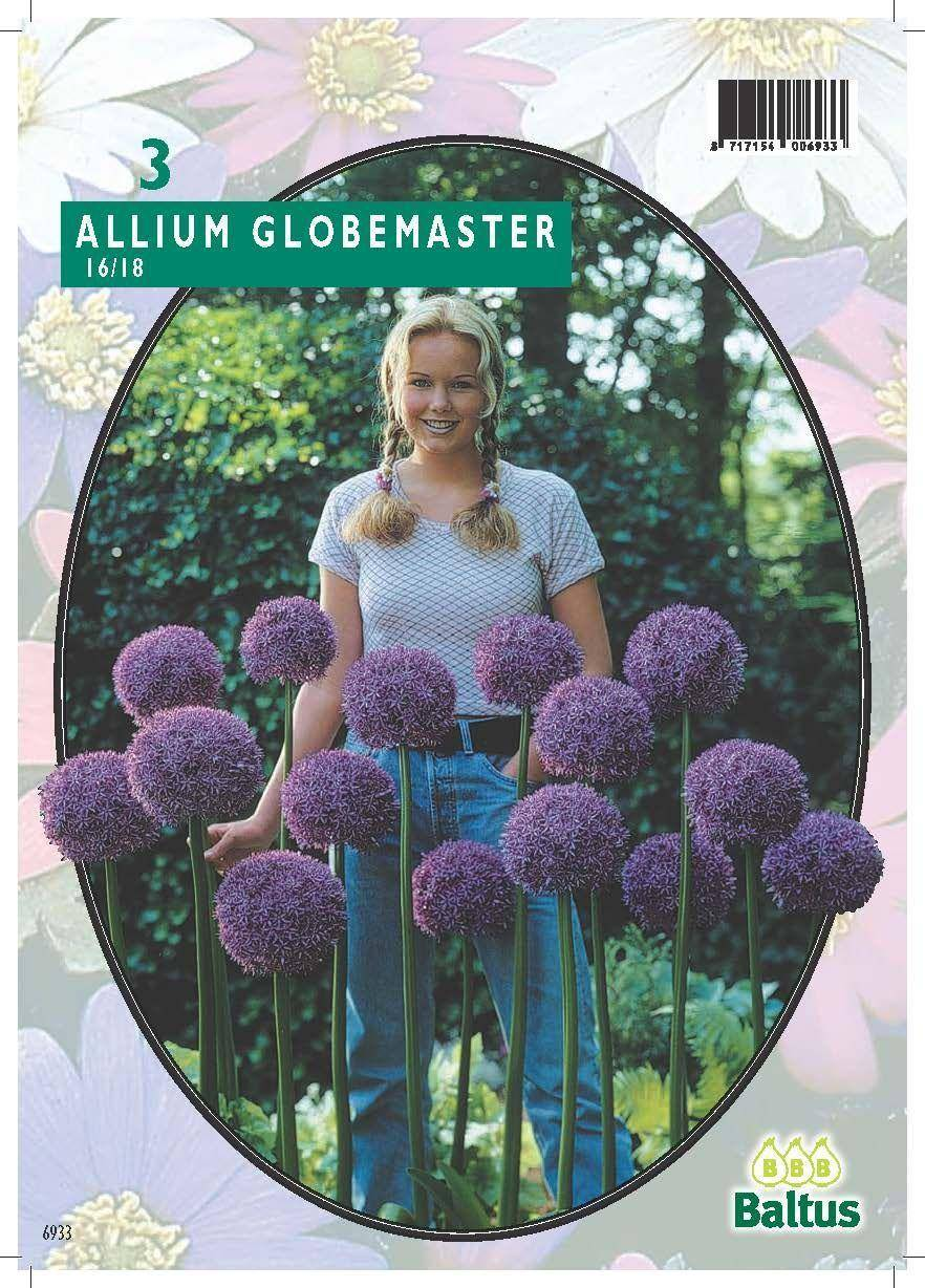 how to grow purple giant allium giganteum seeds
