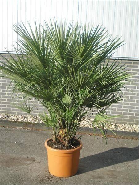 Niet winterharde palm Chamaerops humiles