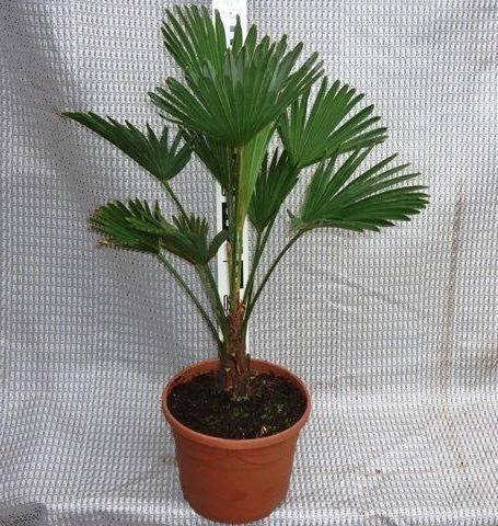 Winterharde palm aanbieding