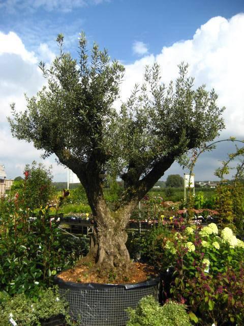 Oude olijfboom Olea europaea