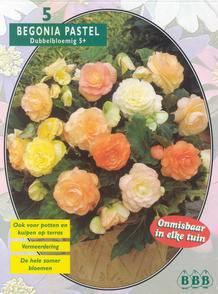 Begonia Begonia Dubbel Pastel