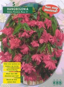 Begonia Begonia Pendula Pink
