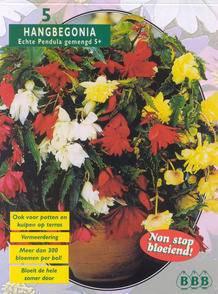 Begonia Begonia Pendula Mixed