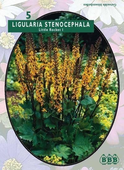 Ligularia Ligularia Stenocephala Little Rocket