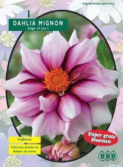 Dahlia Dahlia Mignon Edge of joy