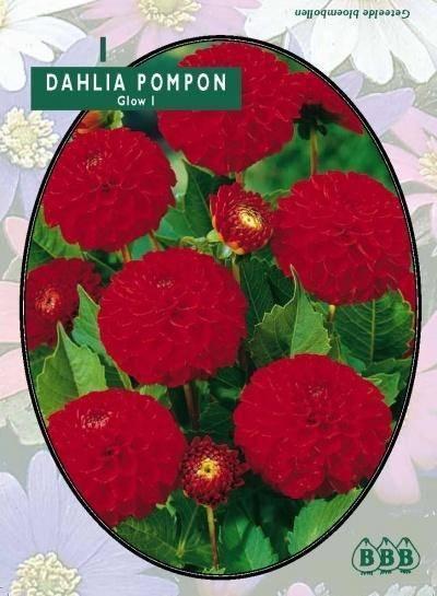 Dahlia Dahlia Pompon Glow