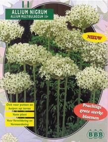 Sierlook / Sierui Allium 'Nigrum Multibubosum'