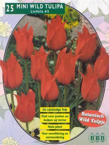 Mini Wildtulp Mini Wildtulipa Linifolia