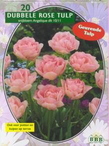 Tulp Tulipa Dubbel Laat Angelique