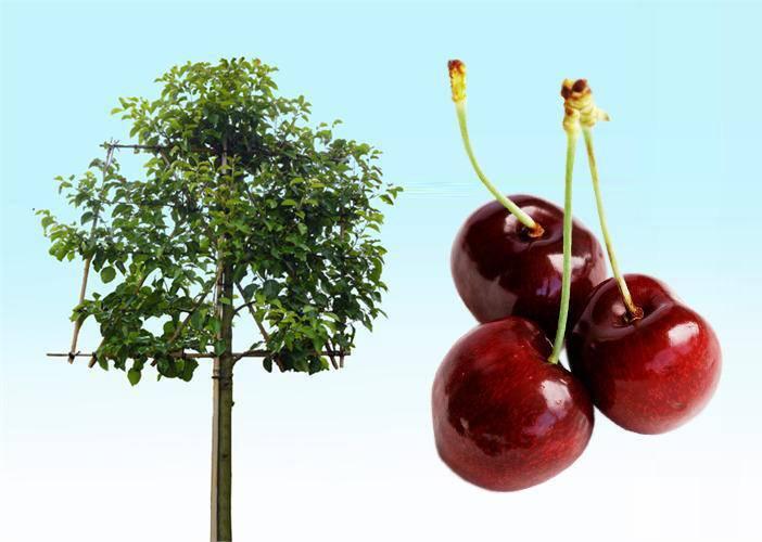 Leiboom kers Prunus vrucht leikers
