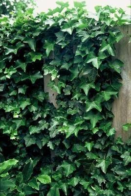 Echte klimop Hedera hibernica