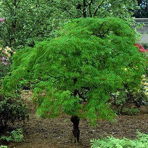 Japanse Esdoorn Op Stam Acer Palmatum Bloodgood Stam in de ...