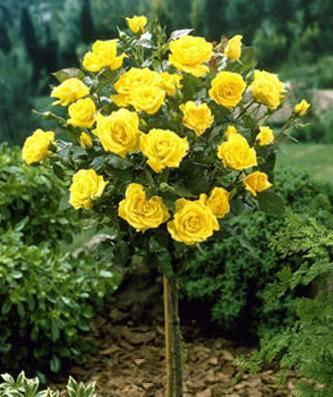 Stamroos Gele roos op stam