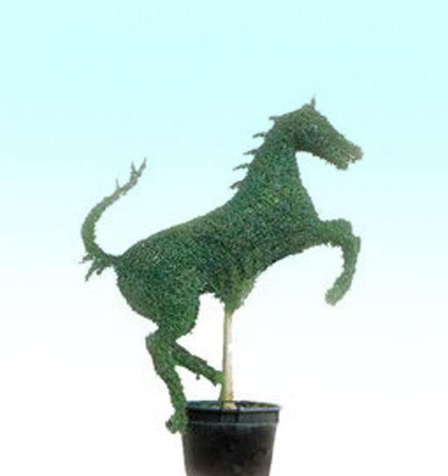 Liguster Ligustrum delavayanum paard