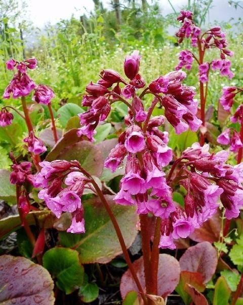 Schoenlappersplant Bergenia cordifolia 'Rotblum'