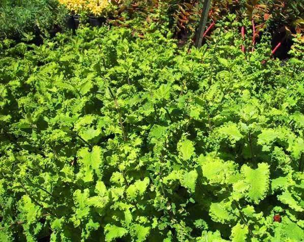 Gamander Teucrium scorodonia 'Crispum'