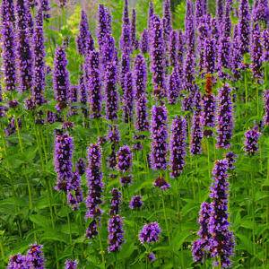 Dropplant Agastache 'Black Adder'
