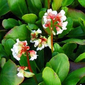 Schoenlappersplant Bergenia 'Bressingham White'