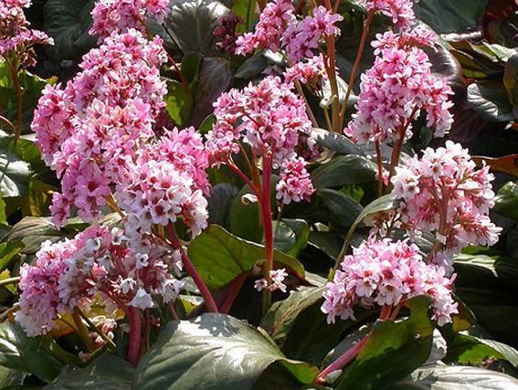 Schoenlappersplant Bergenia 'Silberlicht'