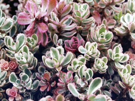Vetkruid Sedum spurium 'Tricolor'