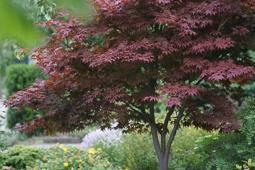 Japanse esdoorn op stam Acer palmatum 'Atropurpureum' stam