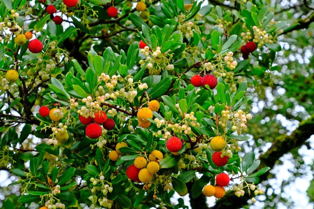 Aardbeiboom op stam Arbutus unedo