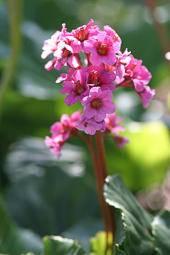 Schoenlappersplant Bergenia 'Morgenrte'
