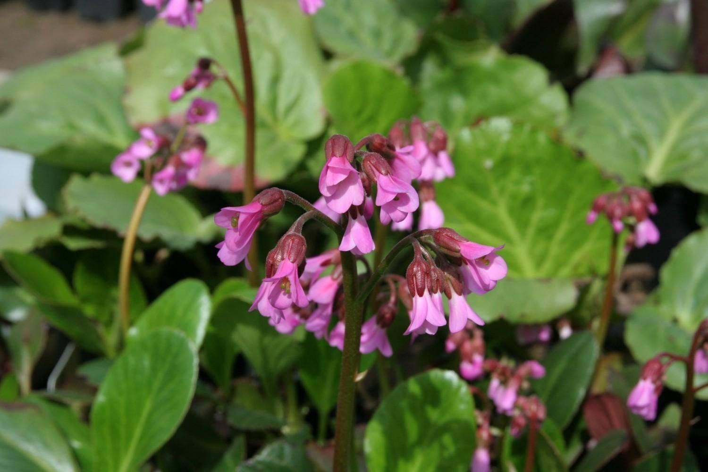 Schoenlappersplant Bergenia 'Wintermrchen'