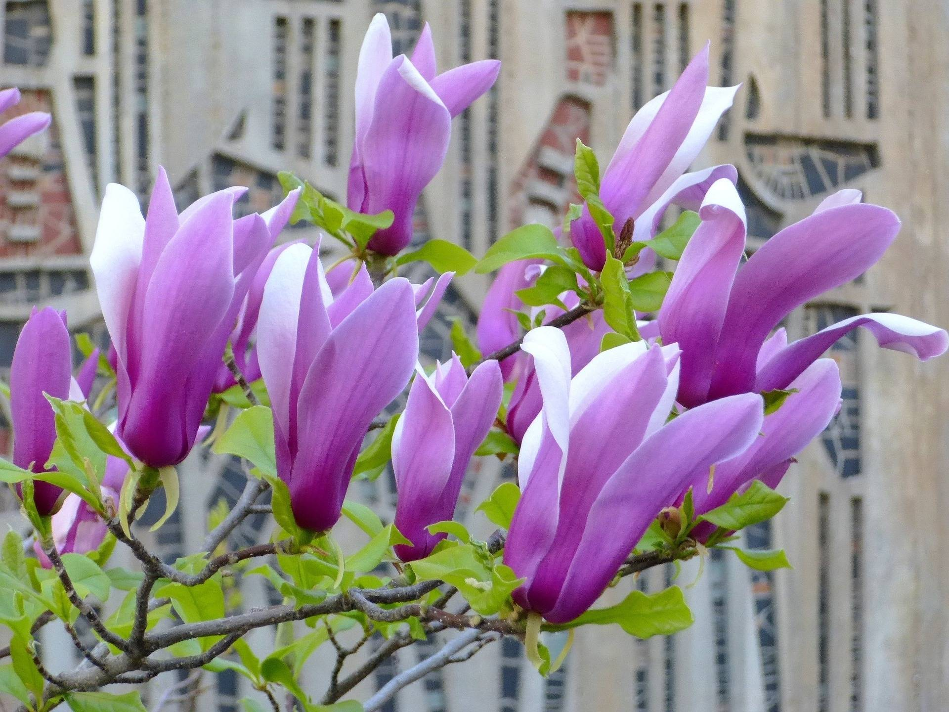 Magnolia op stam Magnolia 'Susan'