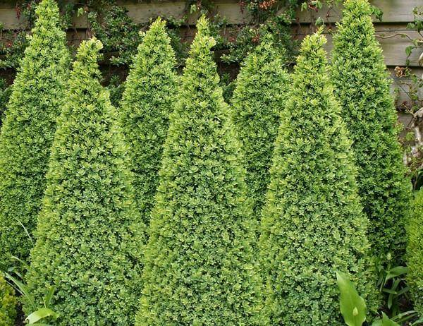 Buxus piramide Buxus sempervirens