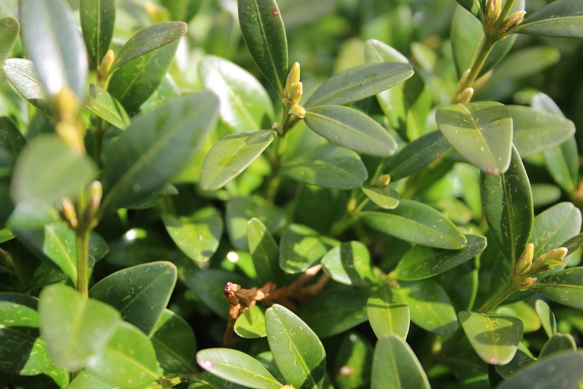 Buxus op stam Buxus sempervirens