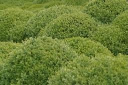 Buxusbol Buxus sempervirens