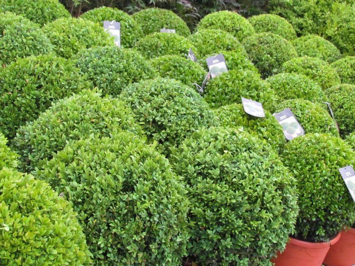 Buxusbol Buxus microphylla 'Faulkner'