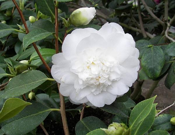 Camellia Camellia japonica Wit