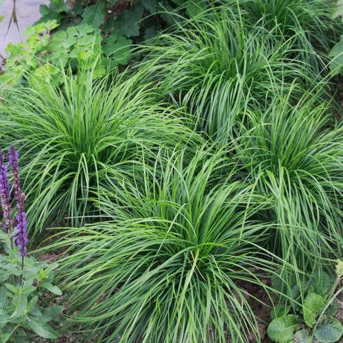 Zegge Carex caryophyllea 'The Beatles'