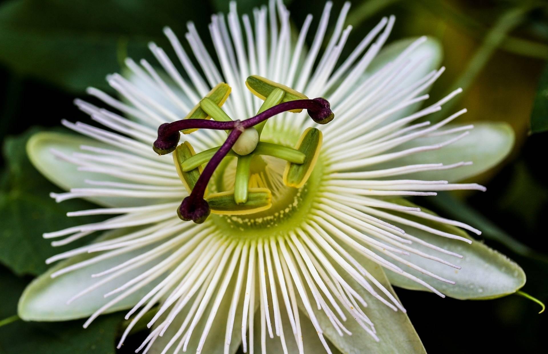 Passiebloem Passiflora caerulea 'Constance Elliott'