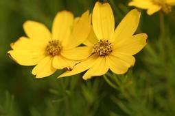 Meisjesogen Coreopsis verticillata