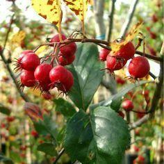 Meidoorn op stam Crataegus prunifolia 'Splendens'