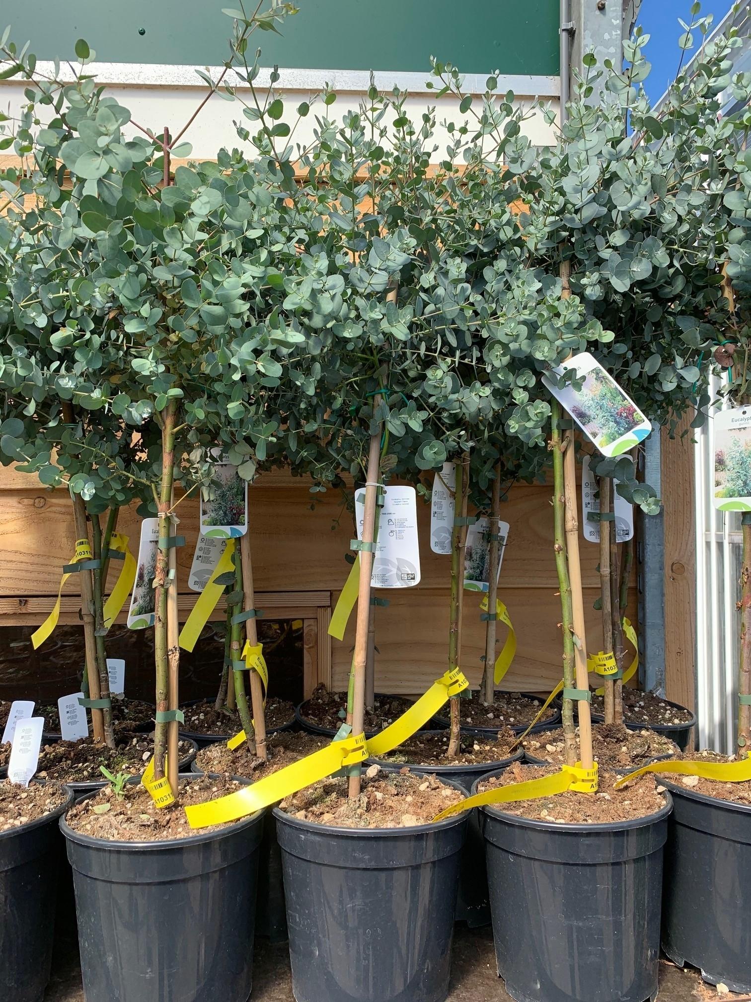 eucalyptus stam Eucalyptus stam