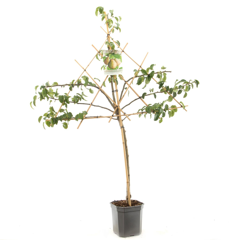 Leipeerboom Pyrus communis 'Doyenn du Comice'