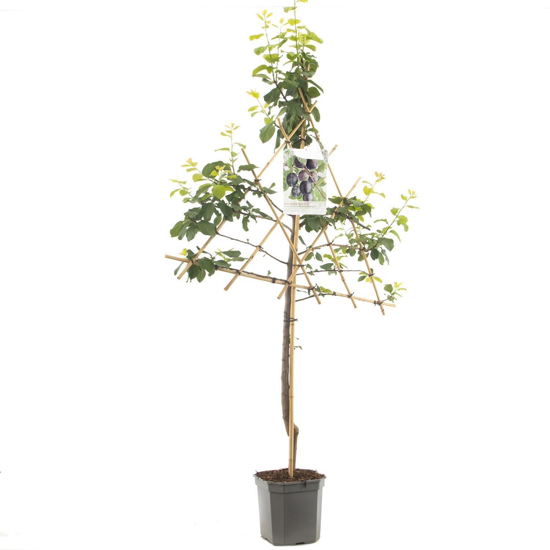 Leipruimenboom Prunus domestica 'Bleue de Belgique'