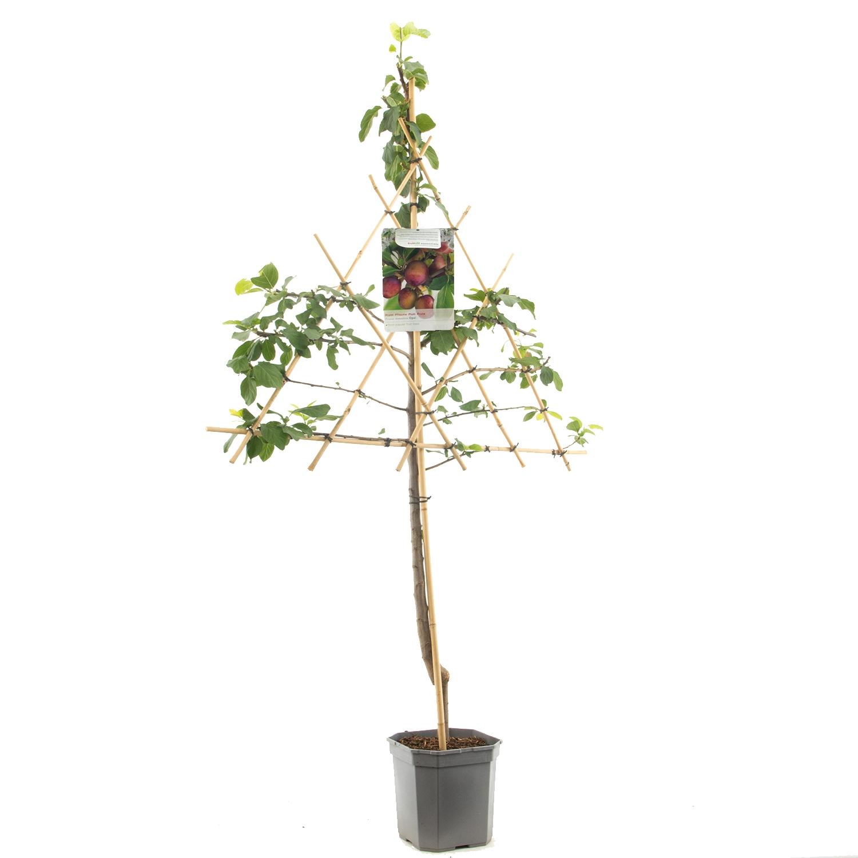 Leipruimenboom Prunus domestica 'Opal'