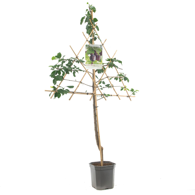 Leipruimenboom Prunus domestica 'Stanley'
