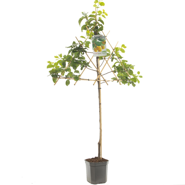 Leipruimenboom Prunus domestica 'Reine Claude dOullins'