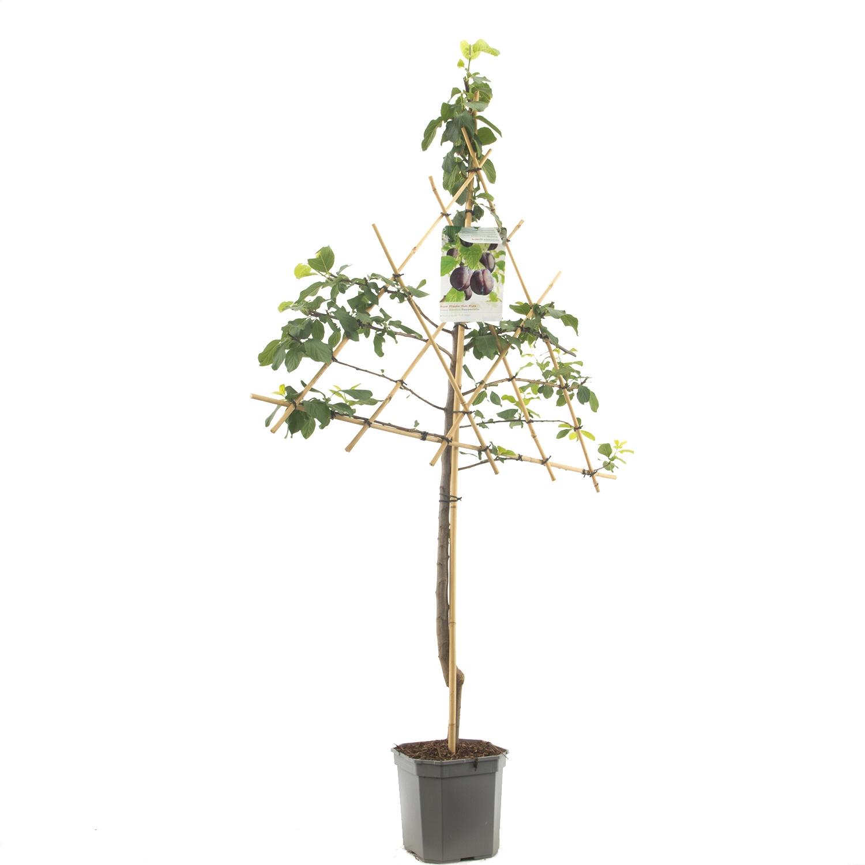 Leipruimenboom Prunus domestica 'Hauszwetsche'