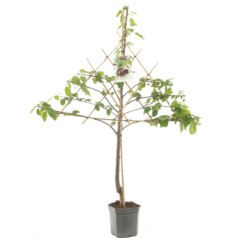 Leikersenboom Prunus avium 'Hedelfinger'