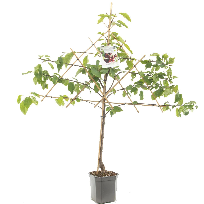 Leikersenboom Prunus avium 'Kordia'