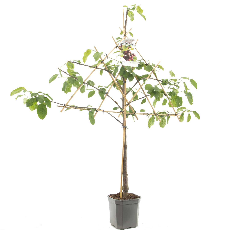 Leikersenboom Prunus avium 'Lapins'