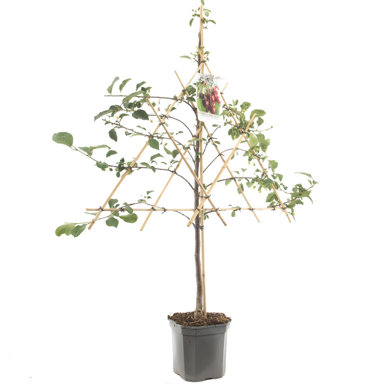 Leikersenboom Prunus cerasus 'Morel'