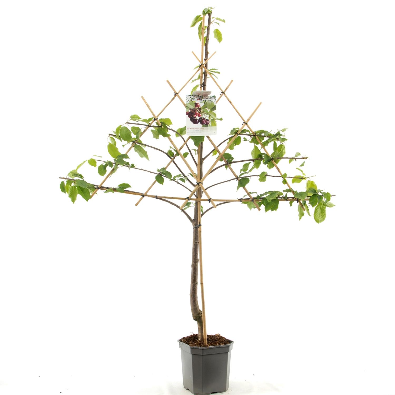 Leikersenboom Prunus avium 'Regina'